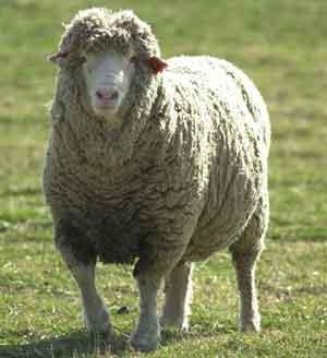 Это поздравительные открытки и подарки, изготовленные из отходов жизнедеятельности овец.