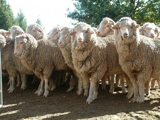 Lamb and Sheep Statisitics