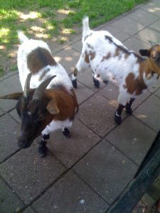 Adapting Yards for Goats