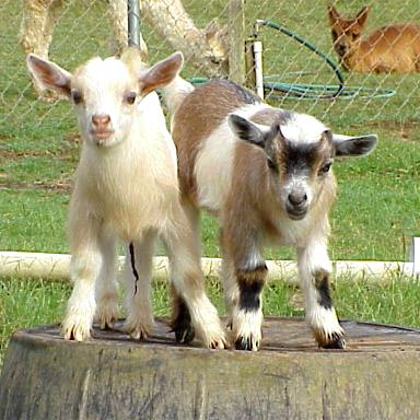 Variation and Recording of Goats