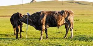 Get Beef Cattle Mating Right