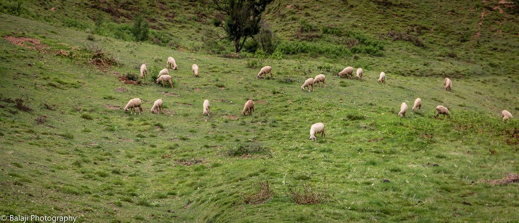 Grazing Goats for Meat Production
