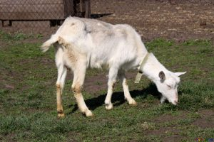 Land Suitability for Goats