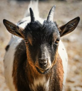 Selecting Goats That Fit Your Objective