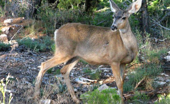 Why Deer Die
