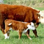 Why You Should Start Record Keeping During Calving