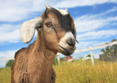 The Basics of Goat Breeding