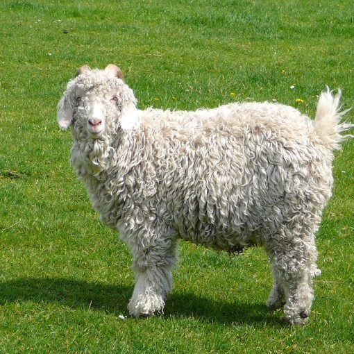What You Need to Know Before Buying Angora Goats