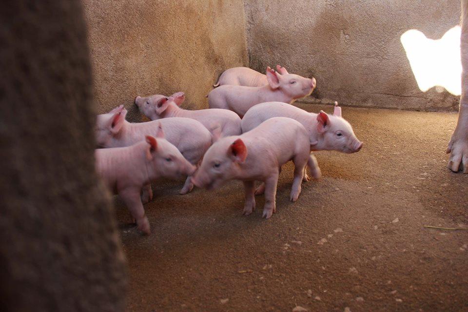 Replacing Breeding Stock in Piggeries.