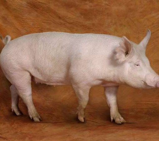 3 Ways to Increase Lean Growth - Reducing Backfat in Pigs