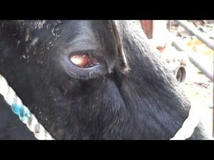 New Forest Eye in Cattle - Signs, Treatment and Prevention