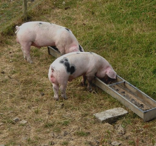 How to Know the Optimal Daily Energy and Weight of Feed for Your Pigs