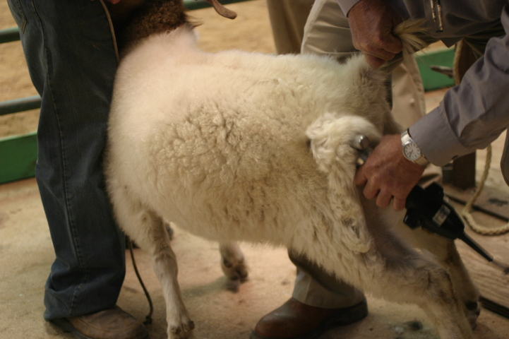 What You Must Know Before Shearing Your Sheep and Goats
